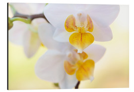 Tableau en aluminium  White orchids against soft yellow background - Julia Delgado