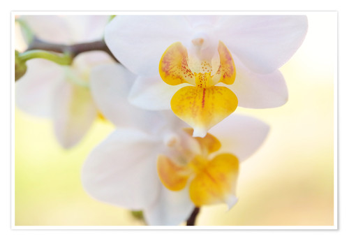 Poster White orchids against soft yellow background