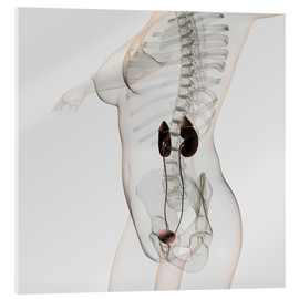 Tableau en verre acrylique  Three dimensional view of female urinary system. - Stocktrek Images
