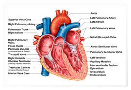 Stocktrek Images - Anatomy of heart interior, frontal section