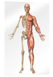 Verre acrylique  The human skeleton and muscular system, front view - Stocktrek Images