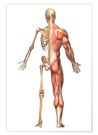 Poster  The human skeleton and muscular system, back view. - Stocktrek Images