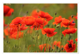 Poster Coquelicots