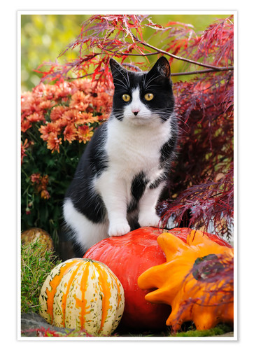Poster Tuxedo cat on colourful pumkins in a garden