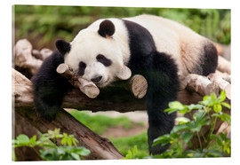 Tableau en verre acrylique  Giant panda sleeping - Jan Christopher Becke