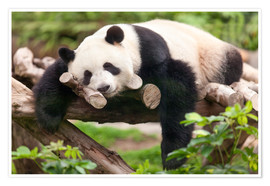Poster  Giant panda sleeping - Jan Christopher Becke