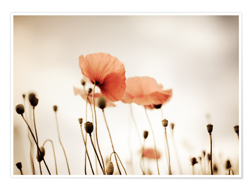 Poster Coquelicots rouges idylliques