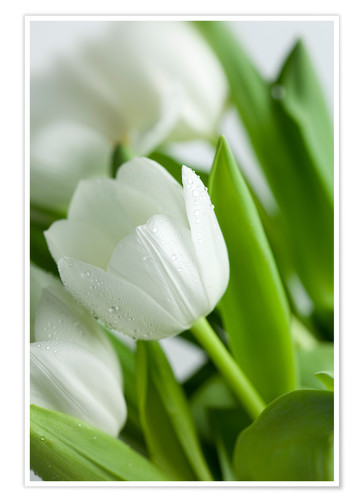 Poster Tulipes blanches 02