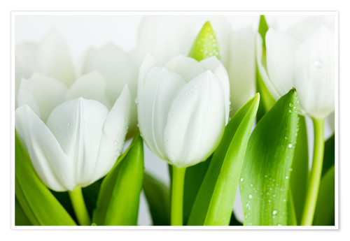 Poster Tulipes blanches 04