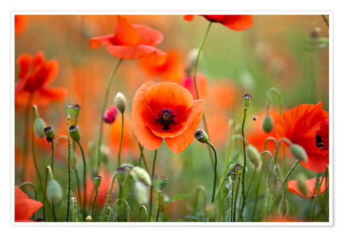 Poster Coquelicots 21