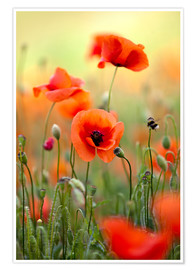 Poster Coquelicots 22