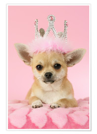 Poster  Chihuahua avec une couronne - Greg Cuddiford