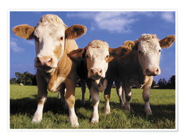 Poster  Trois vaches - Greg Cuddiford