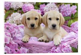 Verre acrylique  Labrador puppies in a basket - Greg Cuddiford