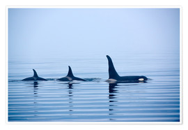 Poster  Three Killer whales with huge dorsal fins - Jürgen Ritterbach