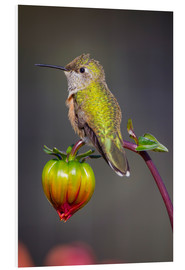 Forex  USA, Colorado. Hummingbird rests on flower bud. Credit as: Fred Lord / Jaynes Gallery / DanitaDelimo - Fred Lord