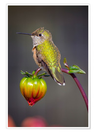 Poster  USA, Colorado. Hummingbird rests on flower bud. Credit as: Fred Lord / Jaynes Gallery / DanitaDelimo - Fred Lord