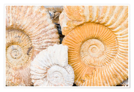 Poster Fossiles d'ammonites