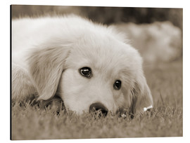 Alu-Dibond  Golden Retriever cute puppy, monochrom - Katho Menden