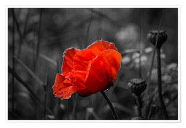Poster  Red poppy on black and white background - Julia Delgado