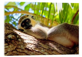 Verre acrylique  Green monkey sleeping, Barbados - Matteo Colombo