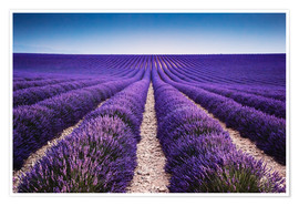 Poster  Lavender field in Provence - Matteo Colombo