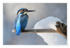 Poster  Martin-pêcheur en hiver - WildlifePhotography