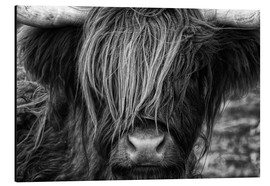 Tableau en aluminium  Vache highland en Écosse - Martina Cross