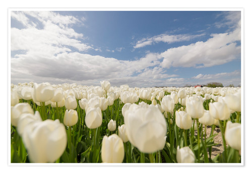 Poster Champ de tulipes blanches