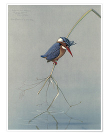 Louis Agassi Fuertes - Pigmy Kingfisher
