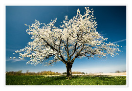 Peter Wey - Single blossoming tree in spring