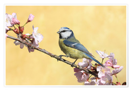 Poster  Blue tit on a branch of cherry - Uwe Fuchs