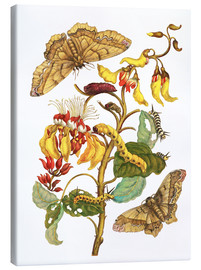 Toile  Coral tree and silkworm - Maria Sibylla Merian