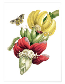 Maria Sibylla Merian - Flowering banana and Automeris