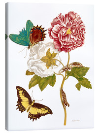 Toile  Roses with Lepidoptera Metamorphosis - Maria Sibylla Merian