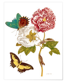 Poster  Roses with Lepidoptera Metamorphosis - Maria Sibylla Merian