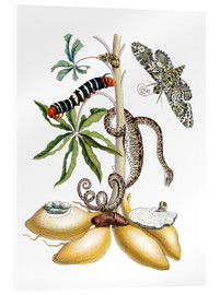 Tableau en verre acrylique  Cassava and giant horseshoe - Maria Sibylla Merian