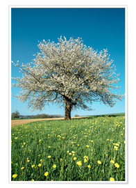 Poster  Blossoming cherry tree in spring on green field with blue sky - Peter Wey