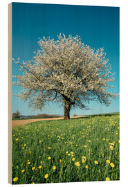 Tableau en bois  Blossoming cherry tree in spring on green field with blue sky - Peter Wey