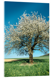 Verre acrylique  Blossoming cherry tree in spring on green field with blue sky - Peter Wey