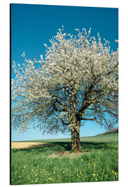 Tableau en aluminium  Blossoming cherry tree in spring on green field with blue sky - Peter Wey