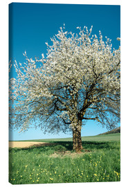 Tableau sur toile  Blossoming cherry tree in spring on green field with blue sky - Peter Wey