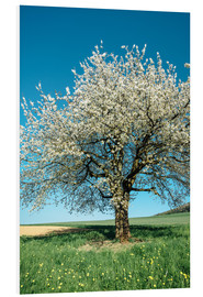 Tableau en PVC  Blossoming cherry tree in spring on green field with blue sky - Peter Wey