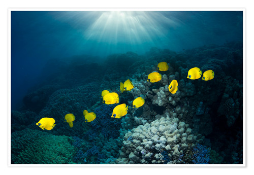 Poster Golden butterflyfish