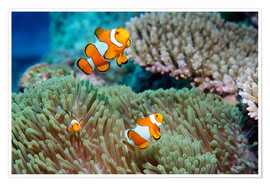 Poster  False clown anemonefish - Georgette Douwma