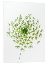 Forex  Dill (Anethum graveolens) - GAVIN KINGCOME