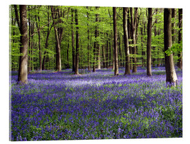 Verre acrylique  Bluebells in woodland - Adrian Bicker