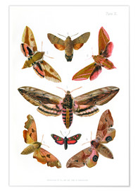 Poster  British moths