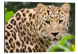 Tableau en aluminium  Amur leopard - Power and Syred