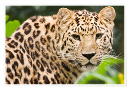 Poster  Amur leopard - Power and Syred